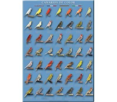Canarios de Color (3)