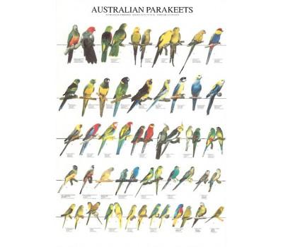 Periquitos australianos